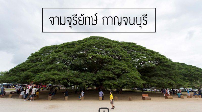 ต้นจามจุรียักษ์ จ.กาญจนบุรี | สถานที่ท่องเที่ยว